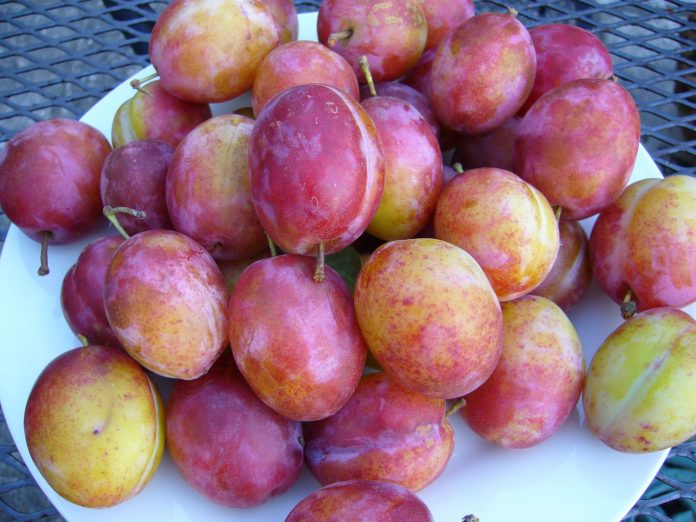 Plum in Peshawar are famous for its taste and freshness.
