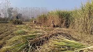 CM KP warns sugar mills owners against delaying crushing season