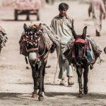 Donkey Business in Pakistan