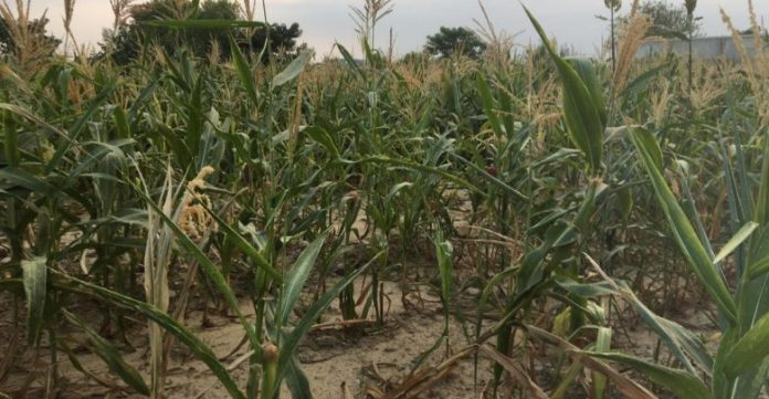 Mardan: Poor maize crop expected due to erratic rainfall